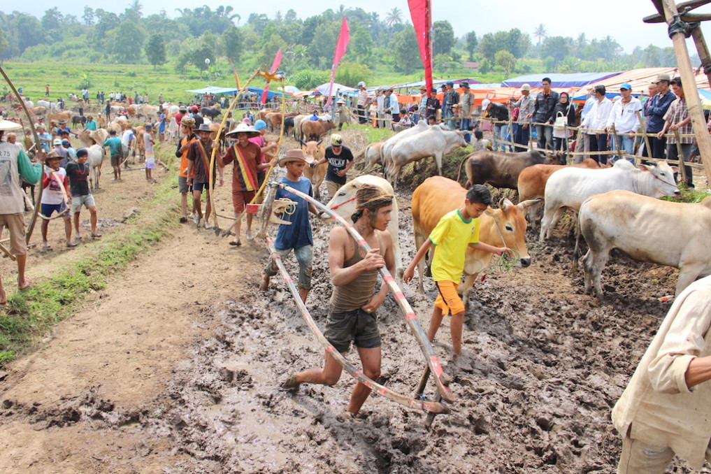 cow race bukittinggi