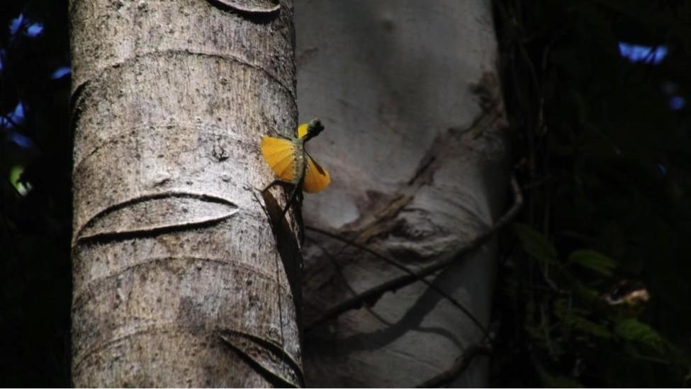 Dieser Flugdrache (Draco spilonotus)