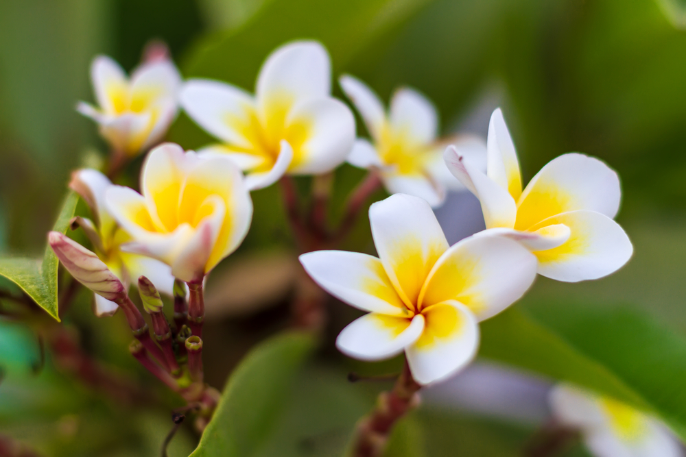 frangipani-blume