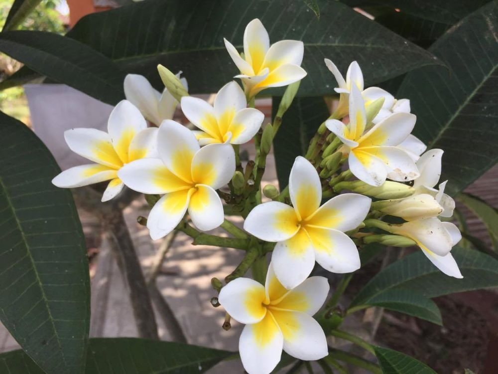 frangipani-kaufen-pflegen