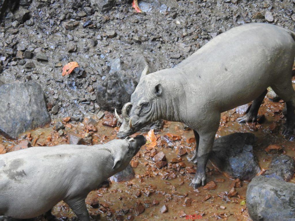 hirscheber-sulawesi-indonesien
