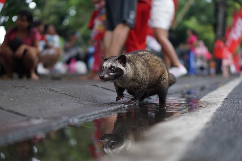 luwak-indonesien