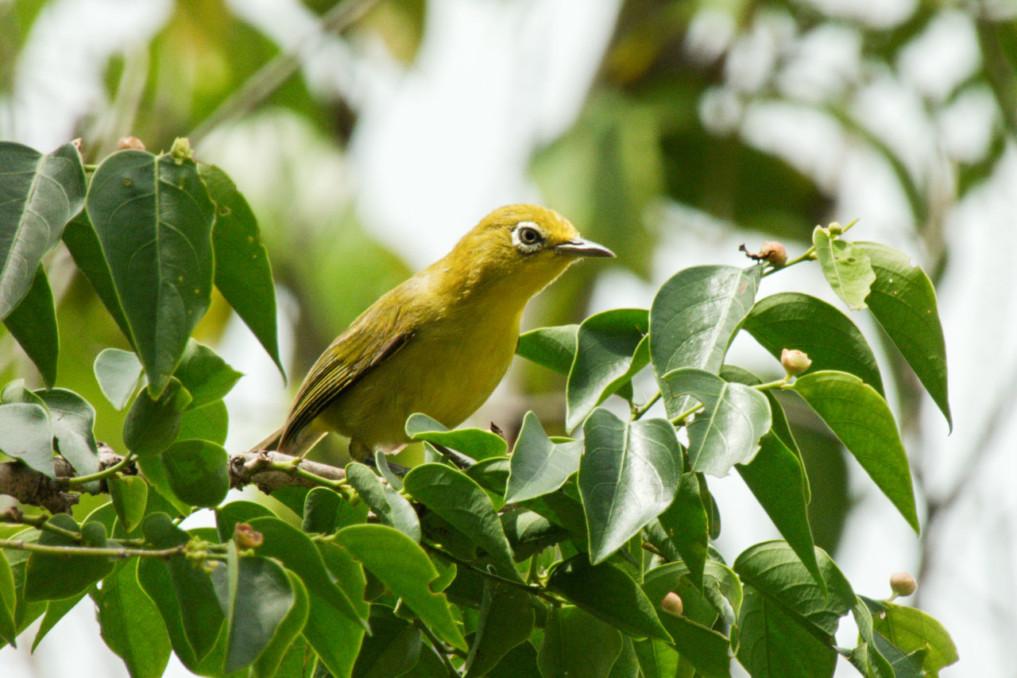 Molukkenbrillenvogel auf der Insel Para