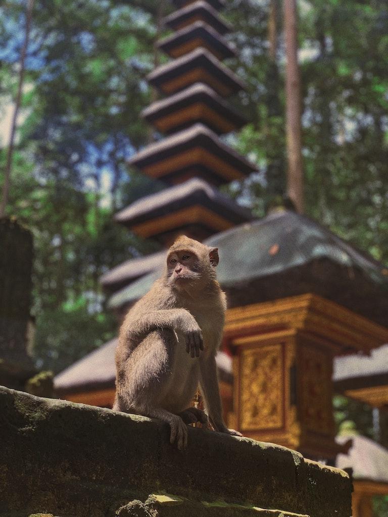 sangeh-monkey-forest-affe-bali