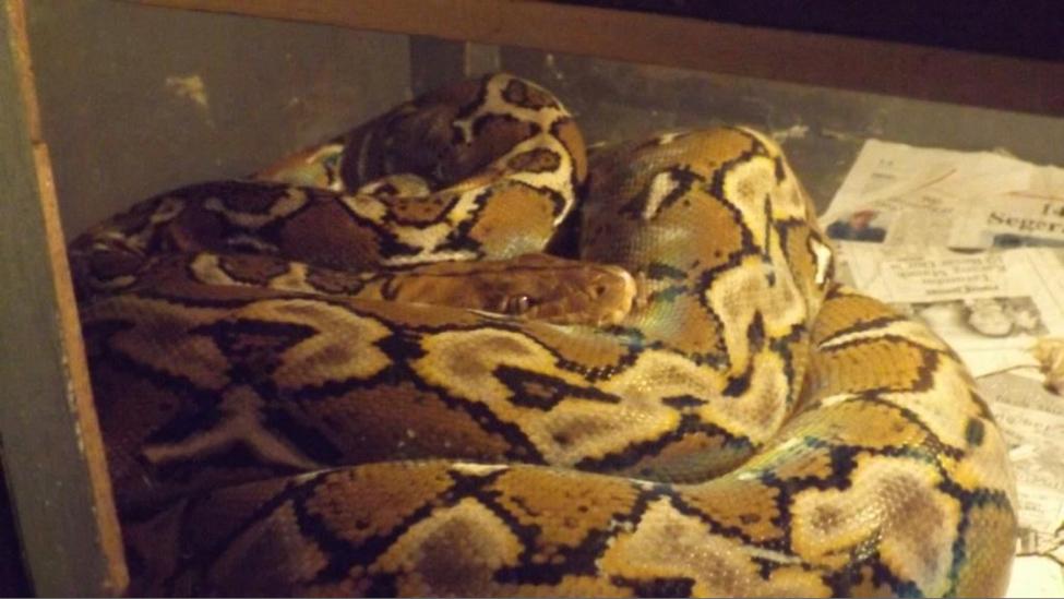 schlangen-python-indonesien-Netzpython_Terrarium