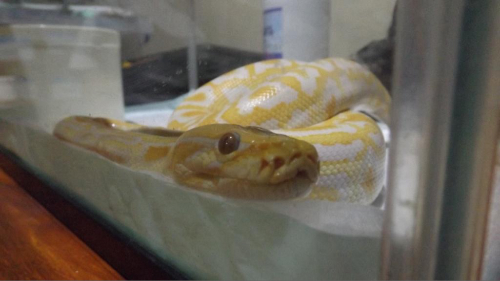 schlangen-python-indonesien-Tigerpython_Albino