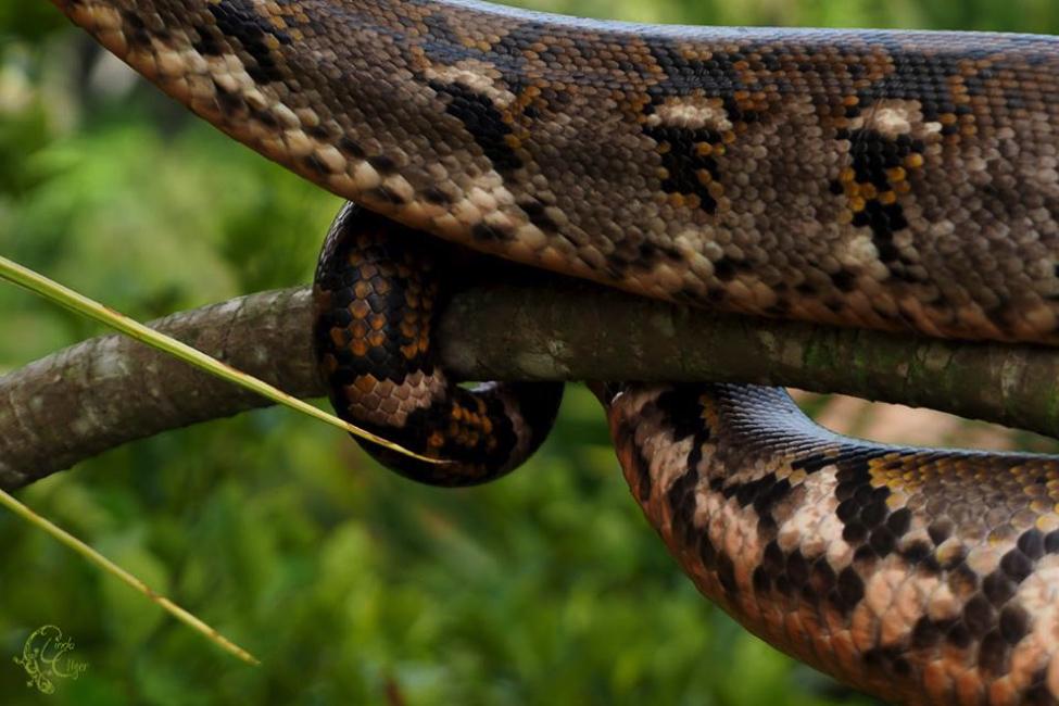 schlangen-python-indonesien-amelia-3