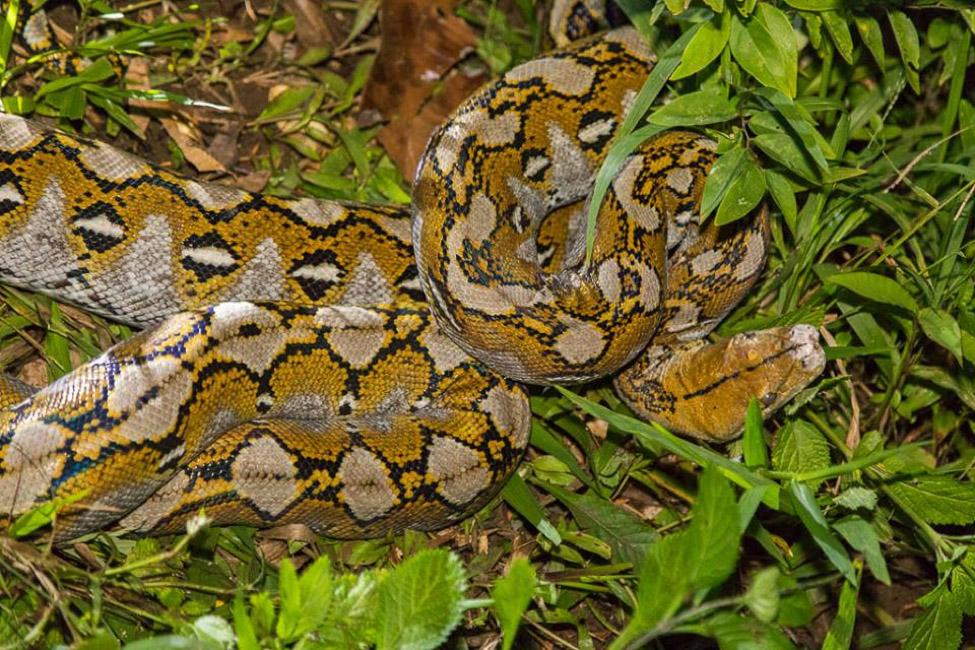 schlangen-netzpython-indonesien-python