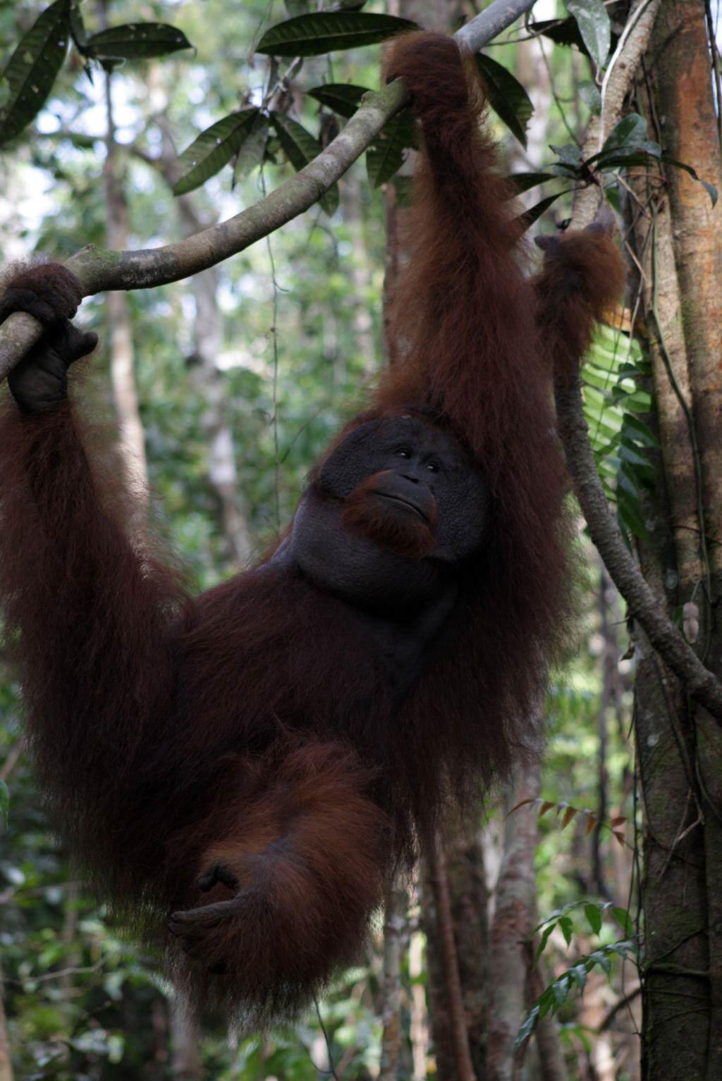 Kalimantan_Gundur