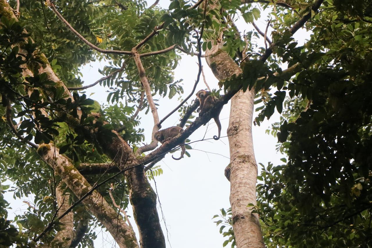 sulawesi-highlights-tangkoko-cuscus