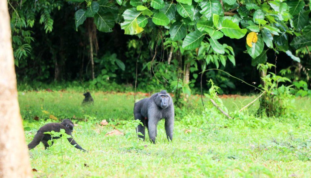 sulawesi-highlights-tangkoko-makake