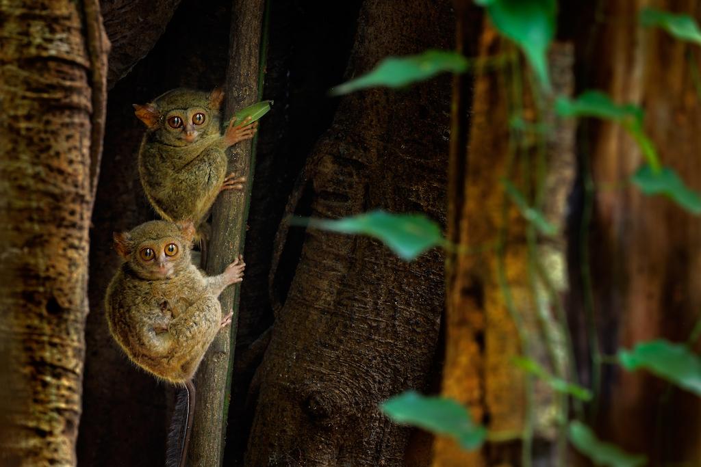 tiere-indonesien-tarsier