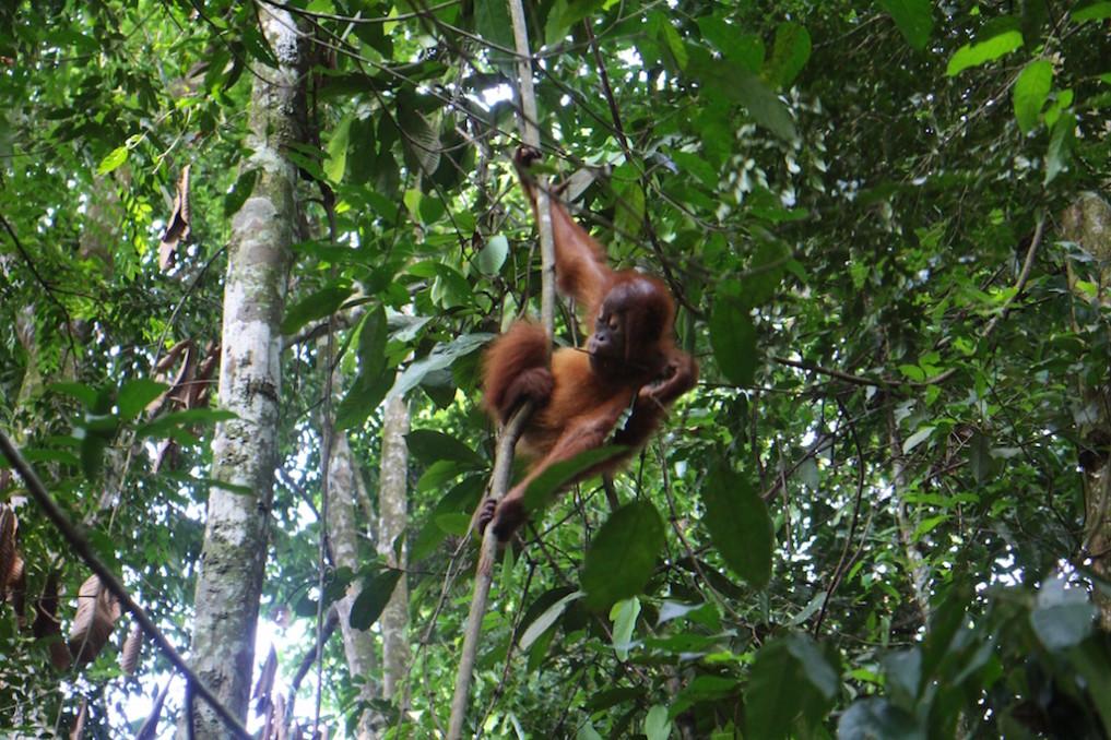 trekking-indonesien-orang-utan
