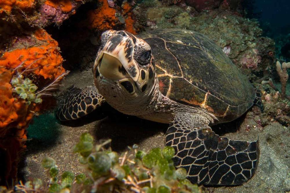 turtle_alor