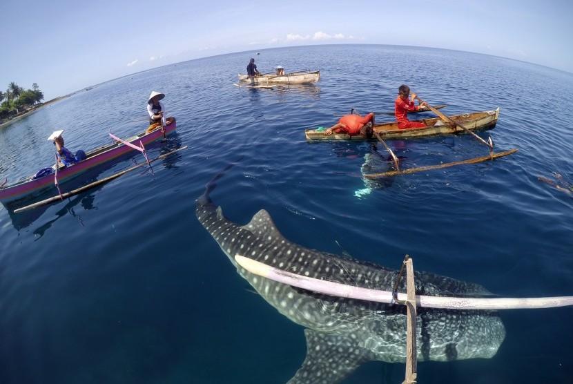 whale shark gorontalo 3